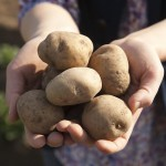 Dolle Knollen: Herbstliche Rezeptkreationen mit Kartoffeln